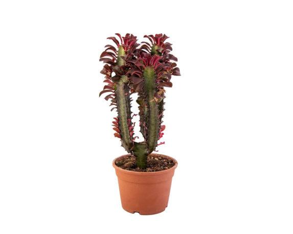 Euphorbia Trigona Rossa