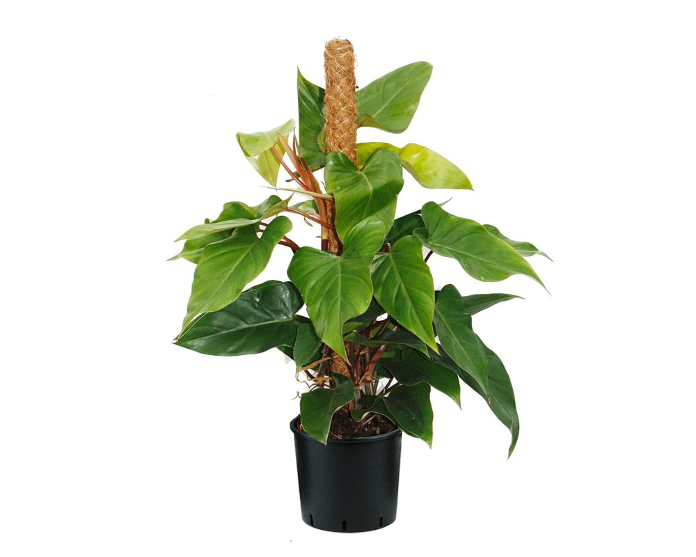 FILODENDRO PHILODENDRON IMPERIAL GREEN TUTORE H80 V24 1