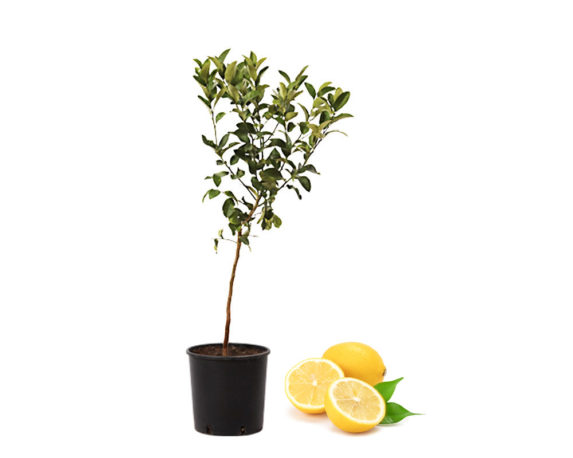 Limone Femminello Zagara Bianca