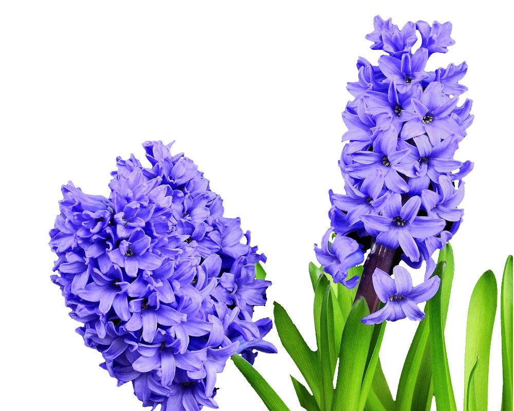 giacinto vaso 9 3