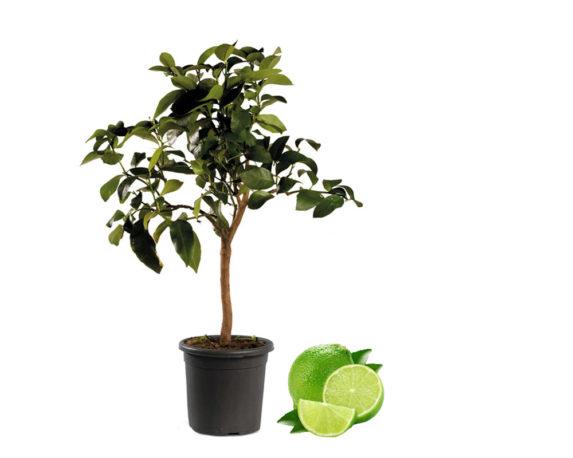 Lime H140