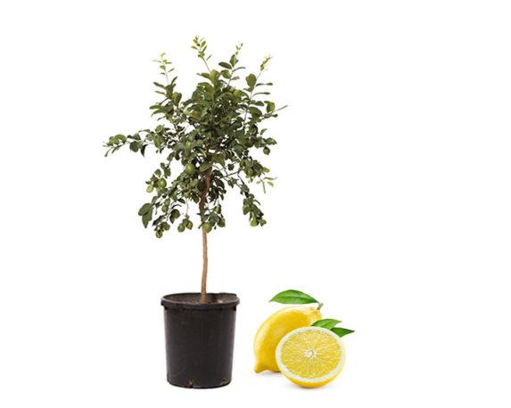 Limone Lunario H150