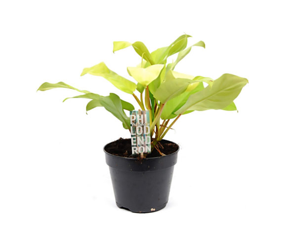 Philodendron Hederaceum 'Malay Gold'