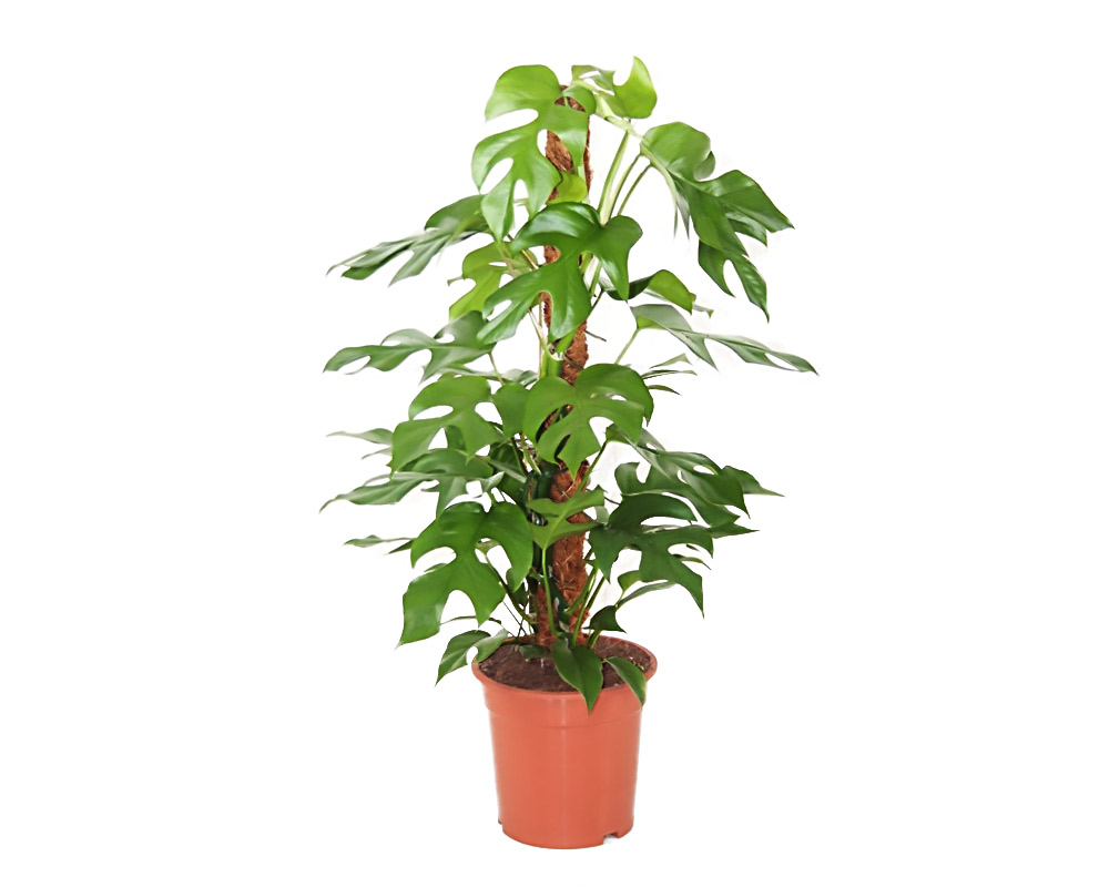 Philodendron monstera minima vaso 19