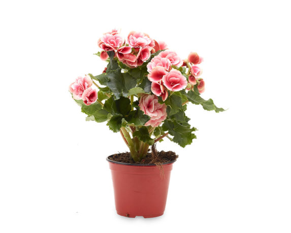Begonia Elatior Clara Fiore Doppio