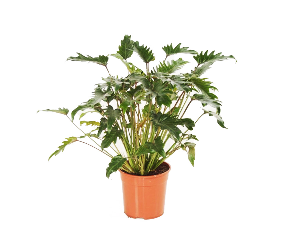 FILODENDRO PHILODENDRON XANADU H70 V27