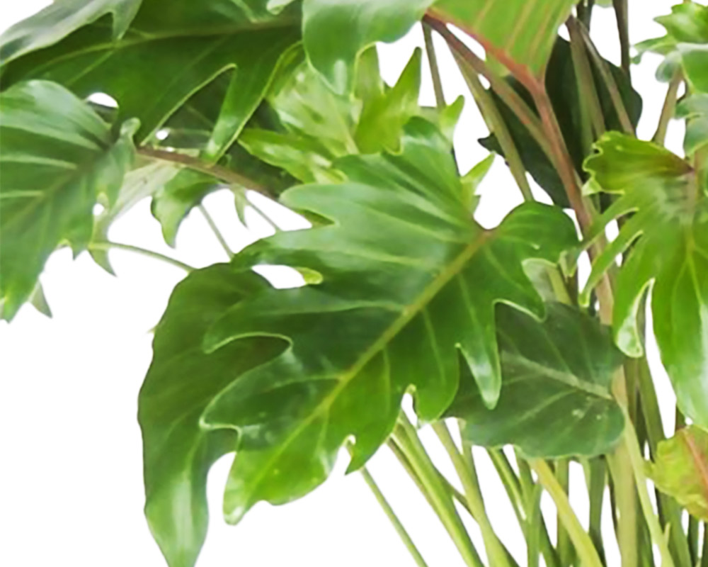 FILODENDRO PHILODENDRON XANADU H70 V27 1