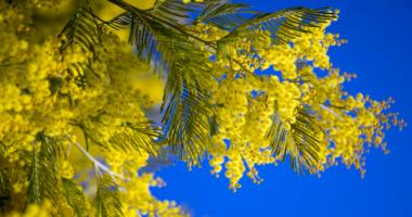 La Mimosa Con Cielo Azzurro