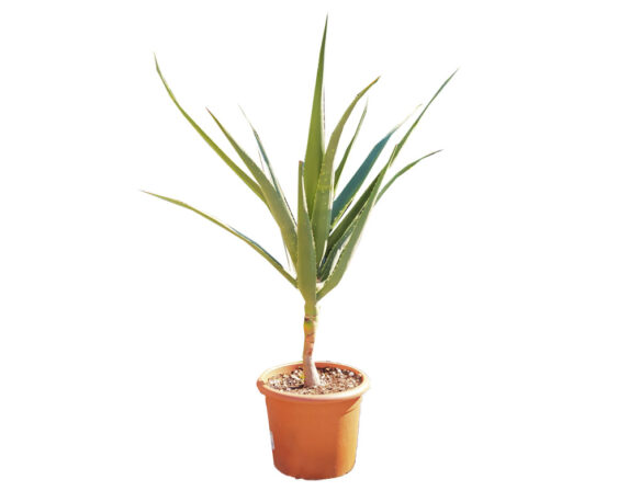 Aloe Barberae H110