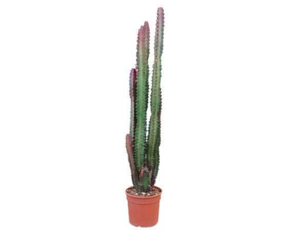 Euphorbia Tigrona Rubra H70