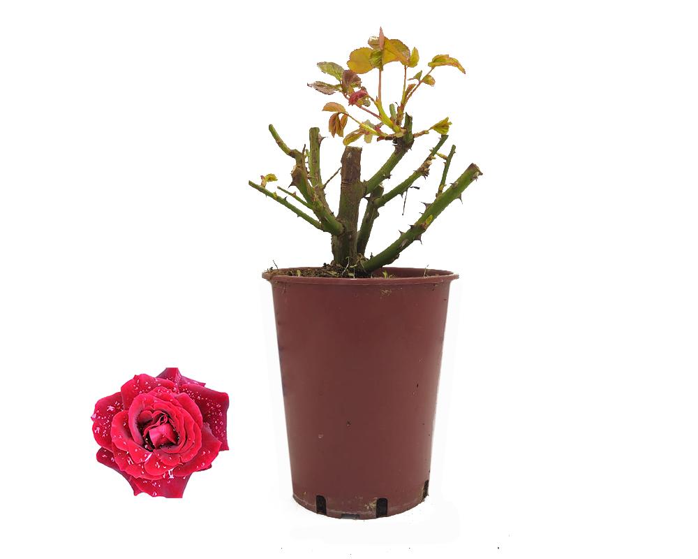 ROSA PRINCE MEILLANDIA ROSSO RIBES SCURO PF 1 CANNA H180 V20 ART 4887 1