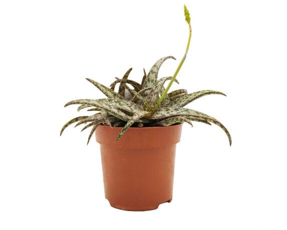 Aloe Humilis (aloe Spider)