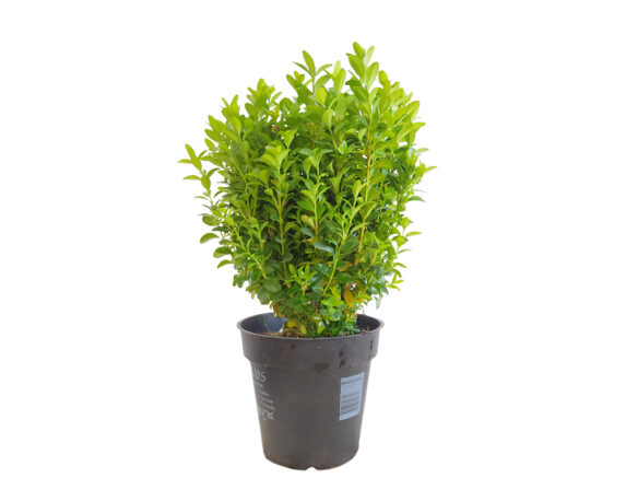 Buxus Sempervirens (bosso)