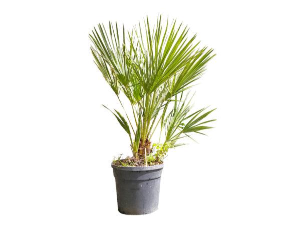 Chamaerops Humilis (palma Nana)