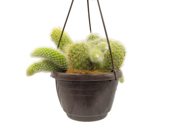 Cleistocactus Winteri Basket