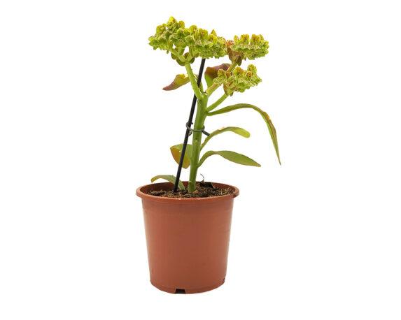 Euphorbia Ritchiei Monadenium H40