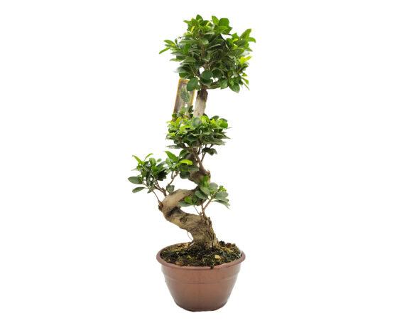 Bonsai Ficus Ginseng Microcarpa Shape