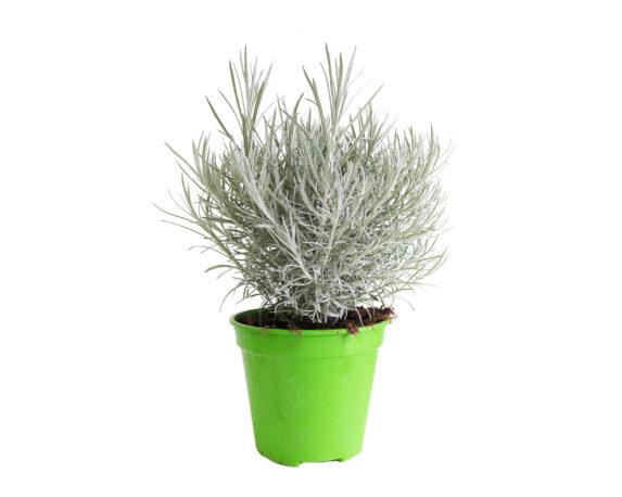 Glycyrrhiza Glabra (liquirizia)