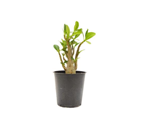 Adenium Ansu Baobab (rosa Del Deserto)