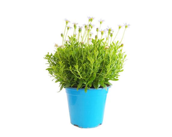 Agatea (margherita Blu)