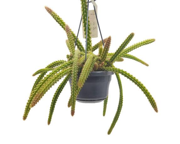 Aporocactus Flagelliformis (coda Di Topo) Basket Mix