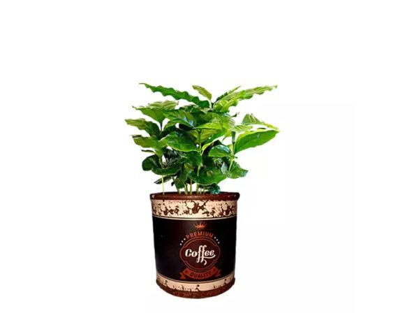 Coffea Arabica Decopot