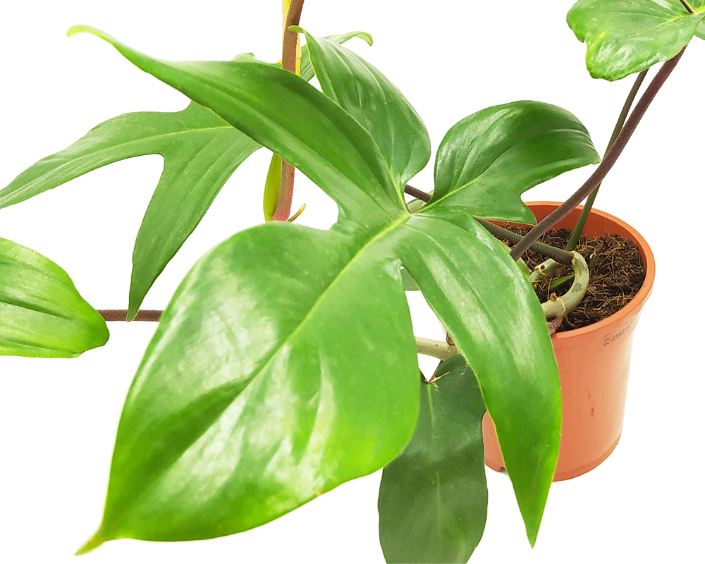 FILODENDRO PHILODENDRON FLORIDA GREEN BEAUTY H45 V17. 1jpg