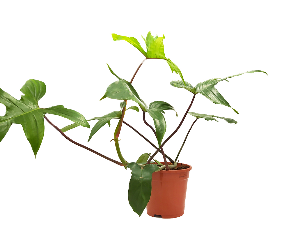 FILODENDRO PHILODENDRON FLORIDA GREEN BEAUTY H45 V17