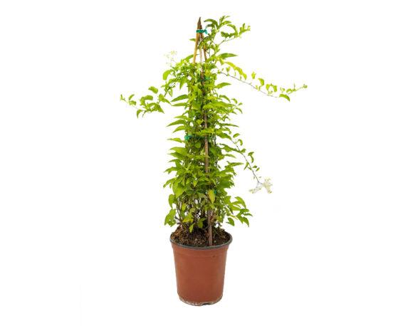 Solanum Jasminoides Piramide (gelsomino Di Notte)