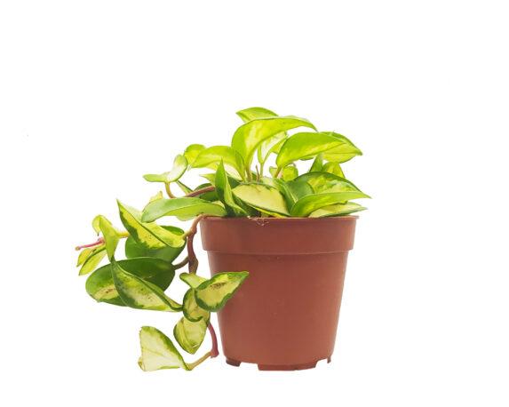 Hoya Carnosa Compacta (fiore Di Porcellana)