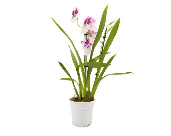 Orchidea 2 Steli