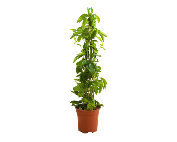 Passiflora Edulis Maracuja Piramide (Fiore Della Passione)