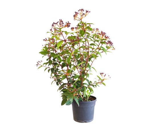 Viburnum Tinus (viburno)