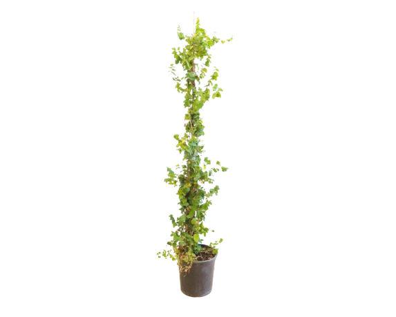 Ficus Pumila Repens (fico Rampicante)