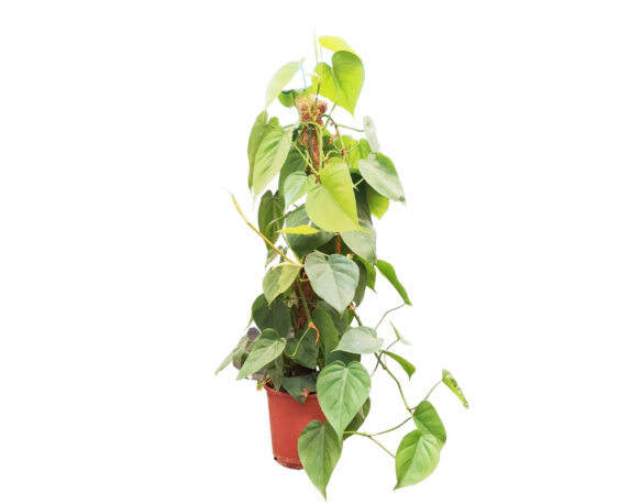 Philodendron Hederaceum Scadens Tutore (filodendro)
