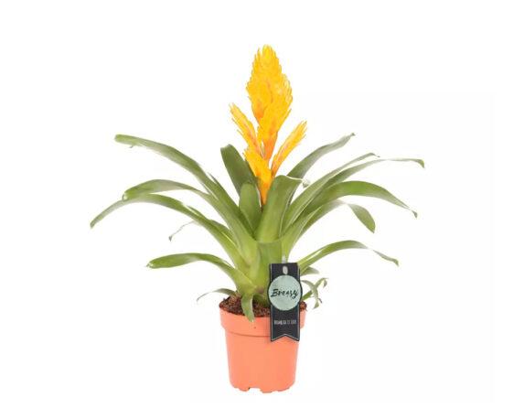 Bromelia Vriesea Intenso Yellow