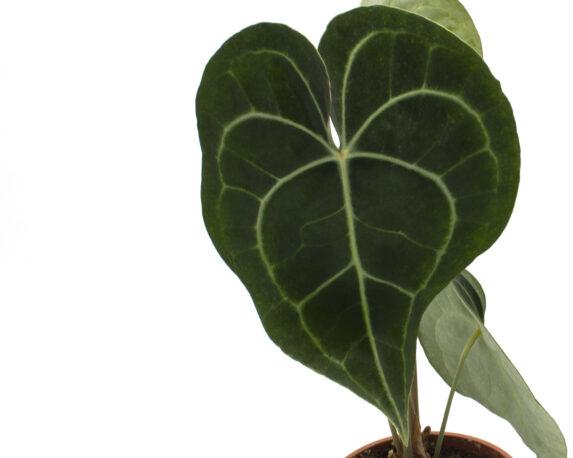 Anthurium Clarinervium Dettaglio