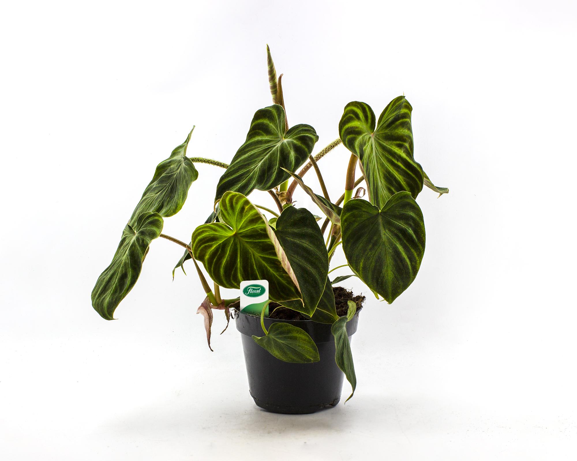 philodendron hederaceum verrucosum