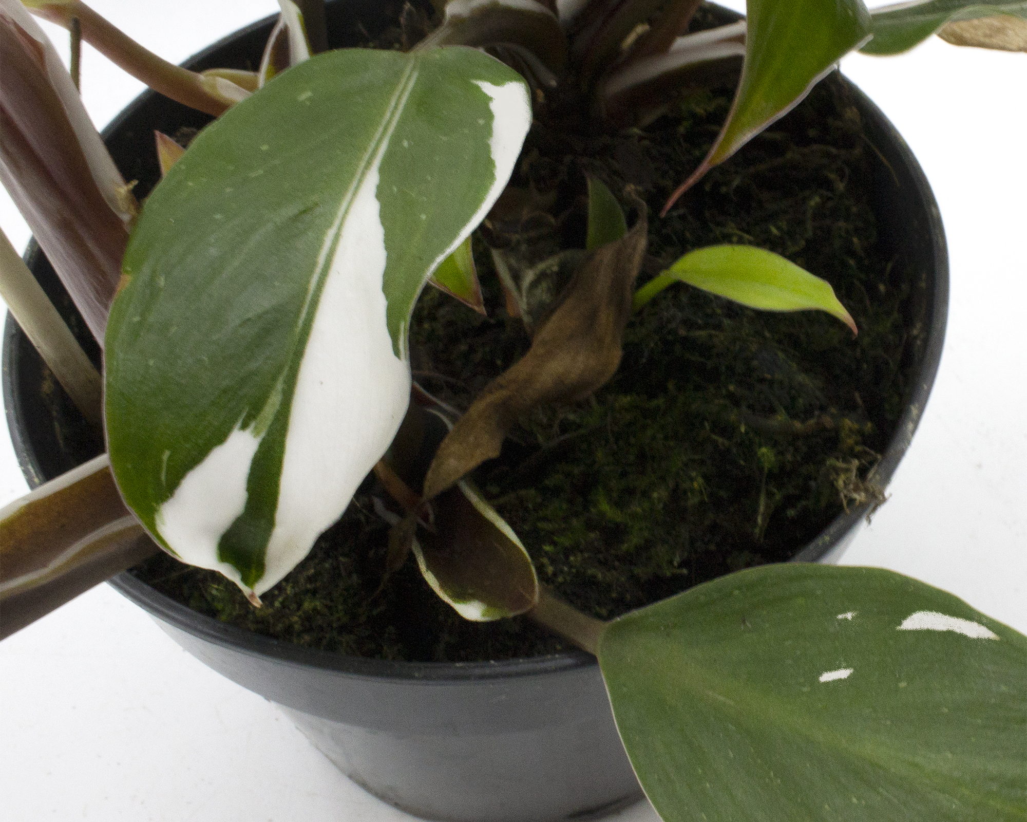 philodendron white knight h45 v15 1