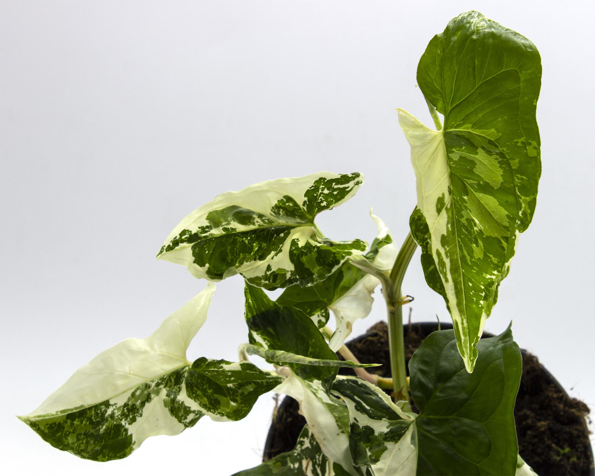 syngonium white variegata h35 v15 art.10046641 dettaglio