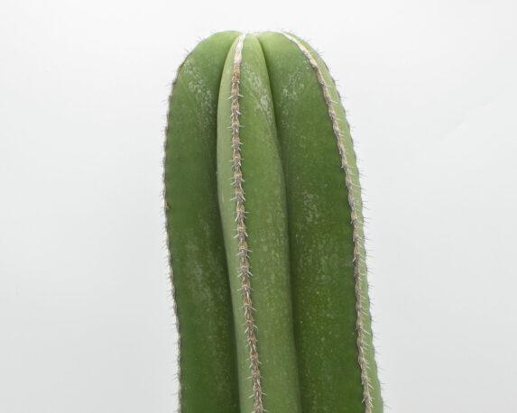 marginato cereus v20 1
