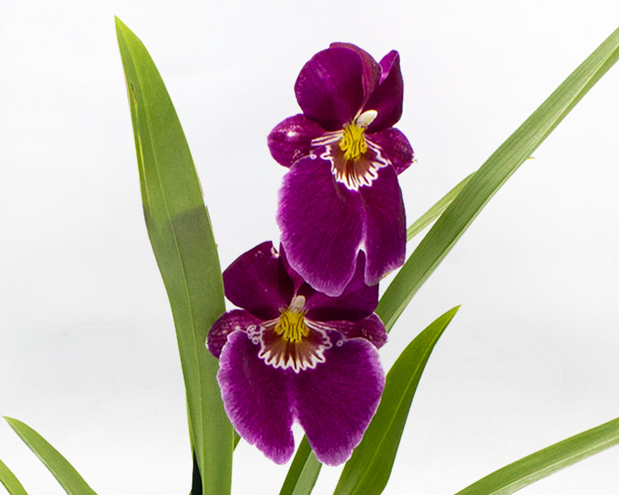 orchidea miltonia 1 stelo h50 v12 1